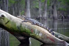Alligator in the swamp. Louisiana alligator on tree stump swamp cypress trees with moss in background Stock Images
