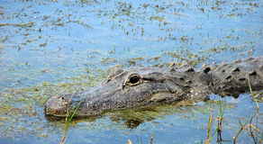 Alligator in the Swamp Stock Photos