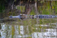 Alligator in the Swamp-close up-2. Close up of an alligator in the Okefenokee Swamp Royalty Free Stock Photos