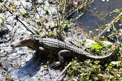 Alligator. In a swamp in Florida Park Royalty Free Stock Image