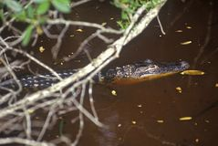 Alligator in swamp, JN Ding Darling National Wildlife Refuge, Sanibel, FL Stock Images
