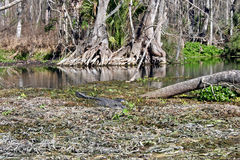 Alligator in Swamp. An alligator swimming through the waters of a swamp royalty free stock images
