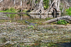 Alligator in Swamp. An alligator swimming through the waters of a swamp royalty free stock photos