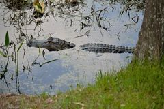 Alligator in the Swamp water. Gator in his natural habitat Royalty Free Stock Image