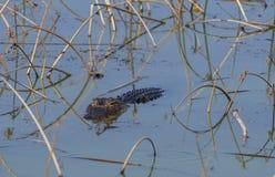 Alligator in swamp water. Partially submerged alligator in shallow Florida swamp water Stock Image