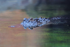 Alligator swim Stock Photography