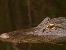 Alligator swimming. Gator swimming across the pond at the everglades Royalty Free Stock Image