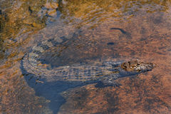 Alligator Swimming Stock Photos