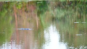 Alligator is swimming stock footage