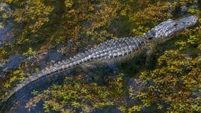 Alligator Swimming, Big Cypress National Preserve, Florida Royalty Free Stock Photography