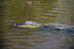 Alligator swimming in  Everglades National Park, Ten Thousand Islands, FL Royalty Free Stock Photography