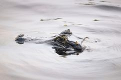 Alligator swimming and floating with head out of water Stock Photo