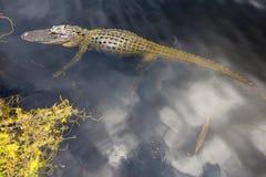 Alligator swimming in florida Stock Images