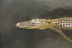 Alligator swimming in florida Stock Images
