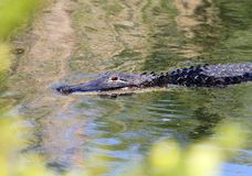 An Alligator Swimming royalty free stock photos