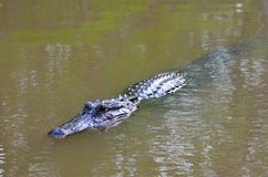 Alligator swimming in the Louisiana Bayou Royalty Free Stock Image