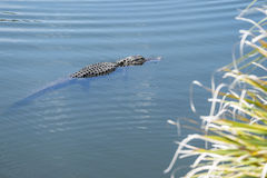Alligator Swimming in a River #2 Royalty Free Stock Image