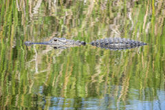 Alligator Swimming in a River #3 Royalty Free Stock Images