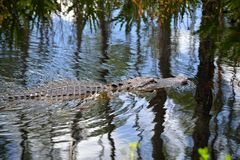 Alligator Swimming in the Swamp-close up-1. An alligator swimming in the Okefenokee Swamp Stock Photos