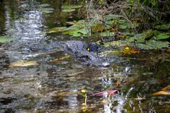 Alligator Swimming in the Swamp. An alligator swimming in the Okefenokee Swamp Stock Photos