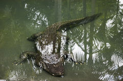 Alligator swimming underwater Stock Photos