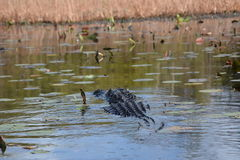 Alligator swimming in the water. A lone alligator swimming in the water Stock Photos