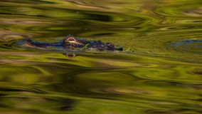 Alligator. Swimming in the water with reflection Royalty Free Stock Images