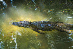 Alligator swimminh by. This alligator is swimming past you Royalty Free Stock Images