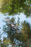 Alligator swimminh at you. This alligator is swimming up to you Stock Images