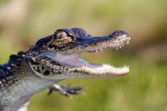 Alligator - tänder och jordluckrare Royaltyfria Bilder