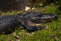 Alligator. Takes in the sun in the Florida Everglades Stock Images