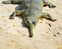 Alligator. Taking rest on a sandy area beside the water royalty free stock photography