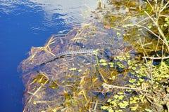 Sun bath. Alligator is taking sun bath, taken in Tampa, florida Stock Photography