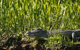 Alligator in tall grass Royalty Free Stock Photo