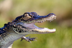 Alligator - Teeth and Claws Royalty Free Stock Images
