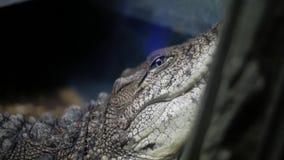 Alligator in terrarium cayman krokodil stock videobeelden