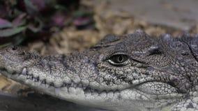 Alligator in terrarium cayman krokodil stock video
