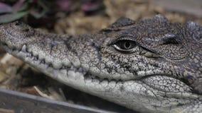 Alligator in terrarium cayman krokodil stock footage