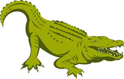 Alligator about to attack Royalty Free Stock Photos