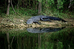 Alligator about to enter river Stock Photography