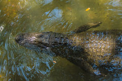 Alligator from the top. This alligator is in clear water Stock Image