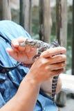 Alligator touching Stock Photo