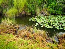 Alligator tour in everglades national park stock footage