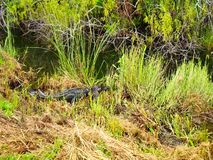 Alligator tour in everglades national park stock video