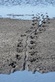Alligator trail. On the mud in wildlife refuge Stock Images