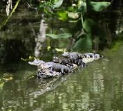 Alligator trio. Three young alligators on a log in a southern wildlife preserve Royalty Free Stock Photography