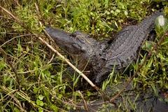 Alligator turning Royalty Free Stock Photo