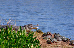 Alligator With Turtles Stock Photos