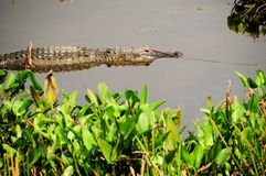 Alligator and Twig Stock Image