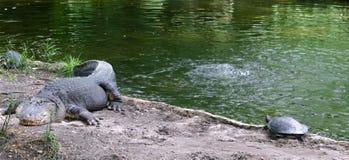 Alligator und Schildkröte Stockbild